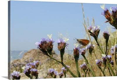 Small skipper feeding from Winged sea lavender flower, Greek Islands, Greece