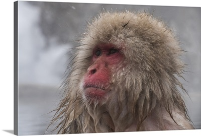 Snow Monkey looking out, Honshu, Japan, Asia