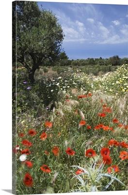 Spring flowers, Akrotiri Peninsula, Chania region, Crete, Greek Islands, Greece
