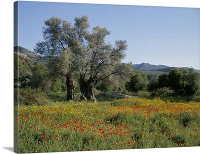 Spring flowers and olive trees on lower Troodos slopes near Arsos, Cyprus
