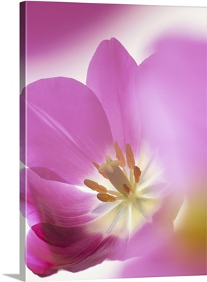 Studio shot, close-up of a pink tulip (tulipa) flower