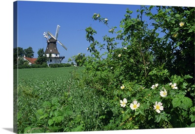 Summer flowers in hedge with the Egeskov Windmill behind, Denmark, Scandinavia