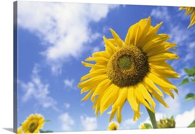 Sunflower, Bielefeld, North Rhine-Westphalia, Germany