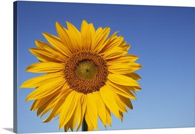Sunflower, Bielefeld, NRW, Germany