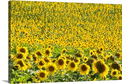 Sunflower Fields, Andalucia, Spain