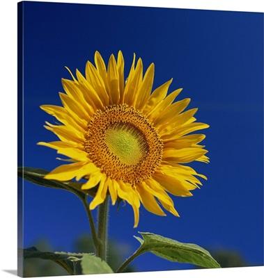Sunflower, Tuscany, Italy, Europe