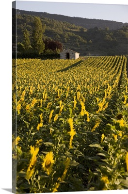 Sunflowers, Provence, France