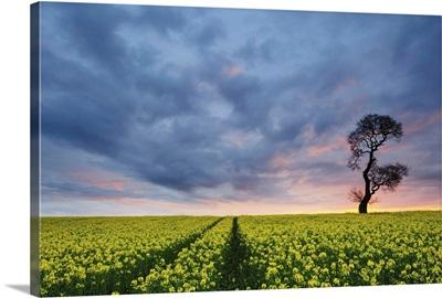 Sunrise Over Oilseed Rape Crop, Staffordshire, West Midlands, England
