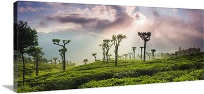 Sunrise Over Tea Plantations And Mountains, Haputale, Central Highlands, Sri Lanka