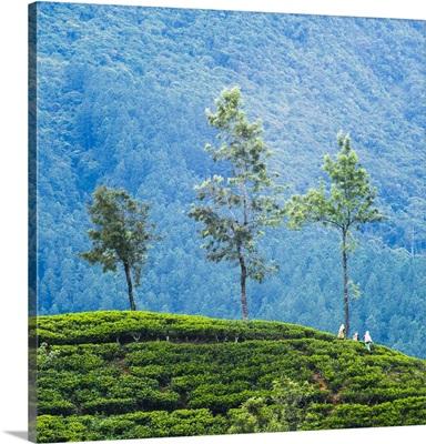 Tea pluckers working at a tea plantation, Sri Lanka