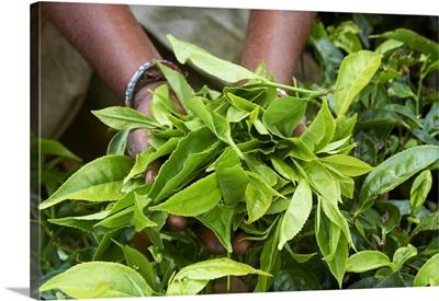 Tea, Tea Plantations, Munnar, Kerala, India