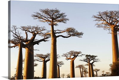 The Alley of the Baobabs, Madagascar