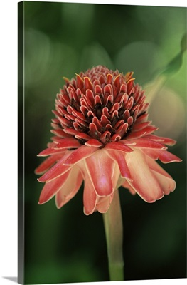 Torch ginger flower, St. Lucia, Windward Islands, West Indies, Caribbean