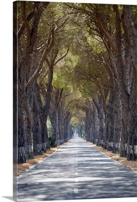 Tree-lined road, Maremma, Tuscany, Italy