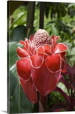 Tropical flower, Costa Rica, Central America