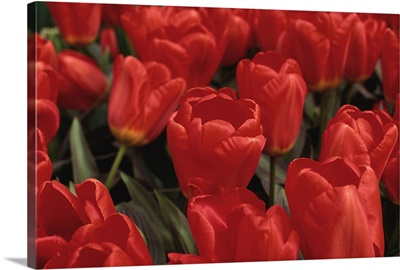 Tulips, Holland, Europe