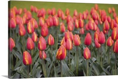 Tulips, Keukenhof, park and gardens near Amsterdam, Netherlands