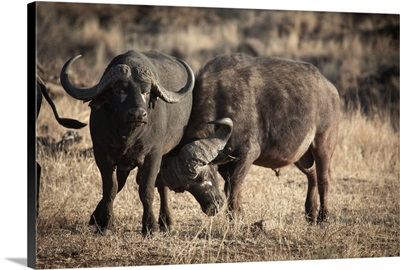 Two buffalos in Kruger Park, South Africa, Africa