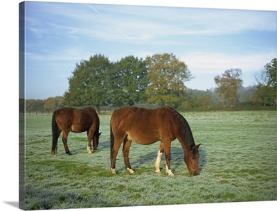 Two horses in a frosty field early morning in autumn, Berkshire, England, UK
