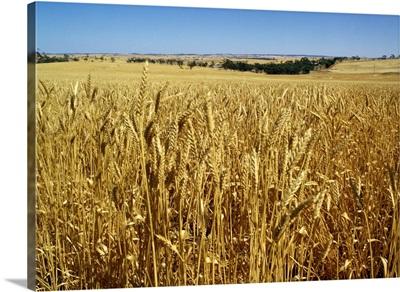 Vast fields of ripening wheat, near Northam, West Australia, Australia