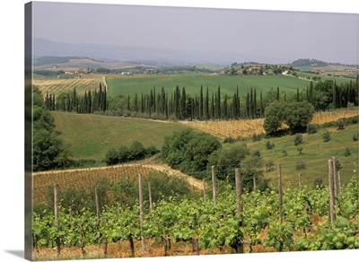 Vines and vineyards, Chianti district north of Siena, San Leonino, Siena, Tuscany, Italy