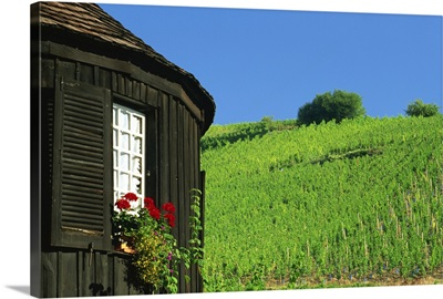 Vineyards on hillside behind circular timbered house, Alsace, France