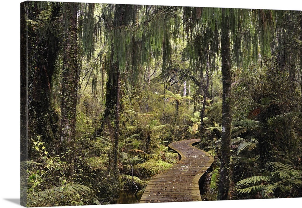 Walkway through Swamp Forest, Ships Creek, West Coast, South Island, New  Zealand