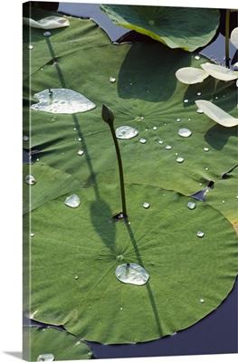 Water liliy at Yuanmingyuan, Beijing, China