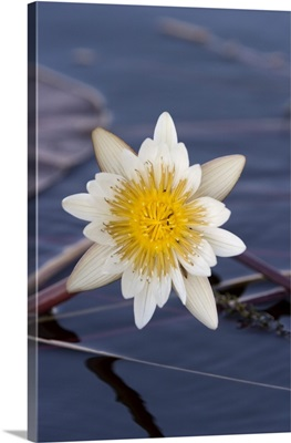 Water Lily, Chobe River, Chobe National Park, Botswana, Africa