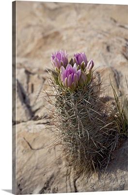 Whipple cactus, Utah, USA