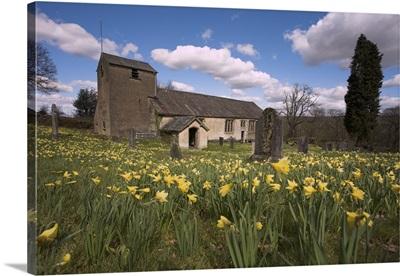 Wild daffodils, in St Anthony's churchyard, Cumbria, England, UK