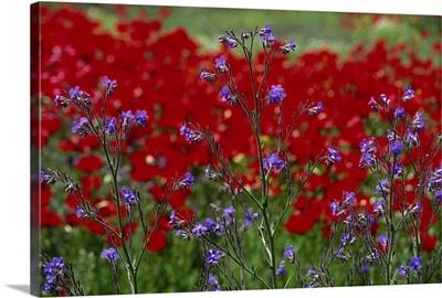 Wild flowers and poppies, Anatolia, Turkey, Asia Minor, Eurasia