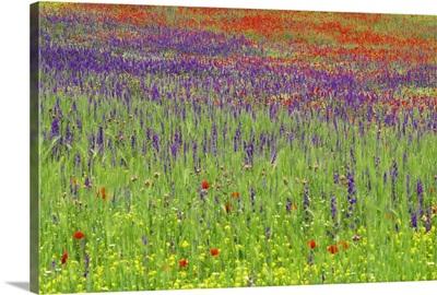 Wild flowers in a spring meadow, Castile la Mancha, Spain