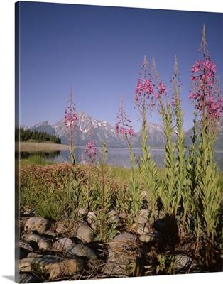 Wild flowers, Jackson Lake, Grand Teton National Park, Wyoming