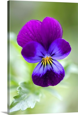 Wild Pansy, Viola tricolor, Bielefeld, NRW, Germany