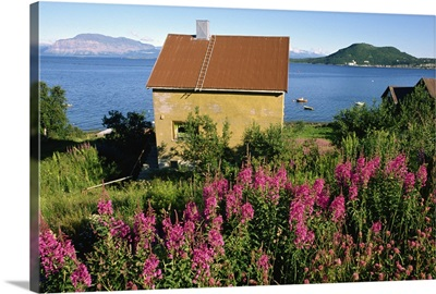 Willowherb on Harstad Bay, north Norway, Scandinavia
