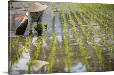 Workers In Padi Field, Sumatra, Indonesia