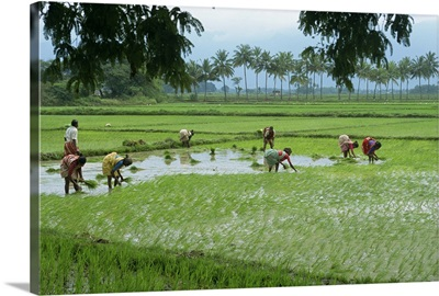 Workers in the rice fields near Madurai, Tamil Nadu state, India, Asia