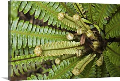 Young frond of fern unfurling, Wairarapa, New Zealand