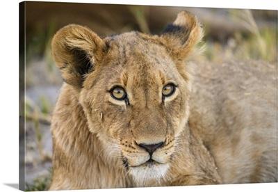 Young Lion Cub, Khwai Private Reserve, Okavango Delta, Botswana, Africa