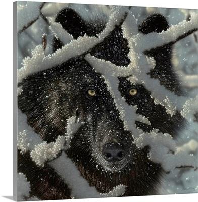 Winter Black Wolf