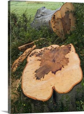 A felled beech tree (Fagus sylvatica)