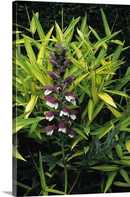 Acanthus flowers