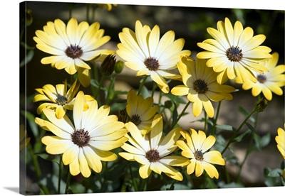 African daisy (Osteospermum 'Buttermilk')