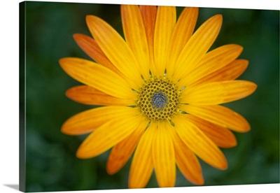 African daisy (Osteospermum sp.)