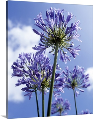 African lilies (Agapanthus sp.)