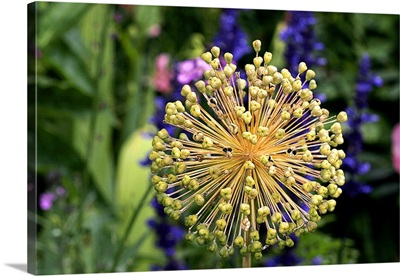 Allium seedhead