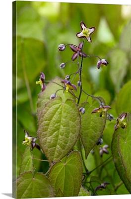 Alpine barrenwort (Epimedium alpinum)
