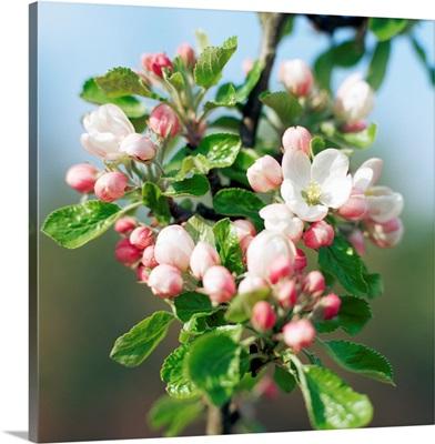 Apple blossom (Malus sp.)