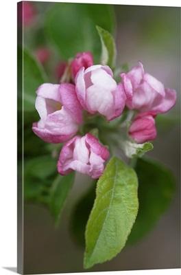 Apple blossom (Malus x domestica)